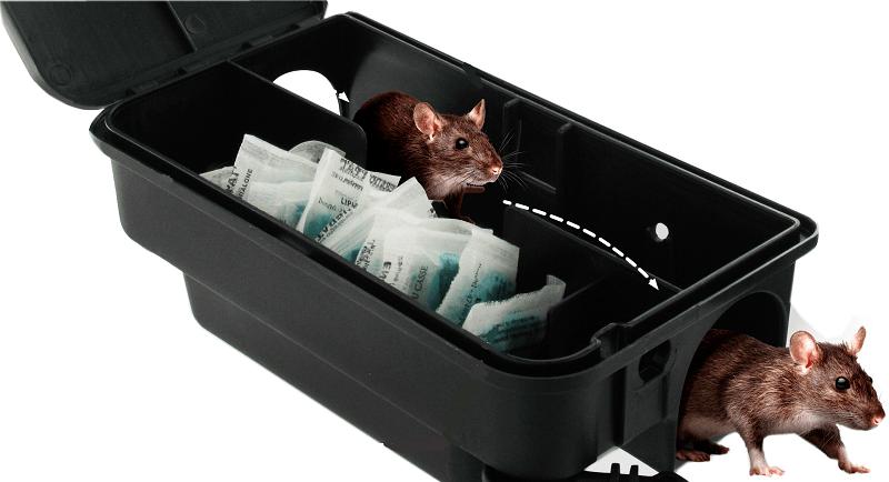 Rats à La Brosse: les pièges sont posés