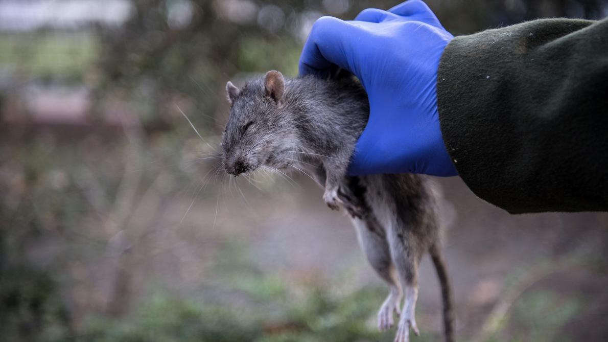 You are currently viewing Présence de rats ? Signalez-le en Mairie !